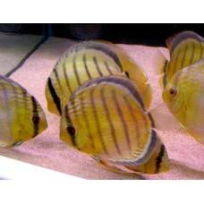 "3""- 3.5"" WILD Symphysodon Aequifaciatus discus (Nannay River South America)."